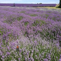 Lavender fields in Cotswolds