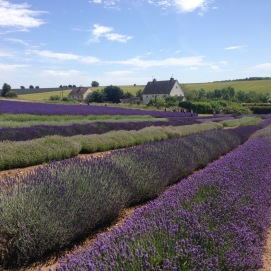 Lavender fields in Cotswolds